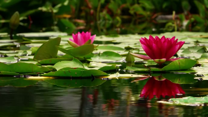 beautiful pond with lotus flower video YouTube 缩略图 template