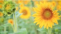 beautiful sunflower Miniature YouTube template