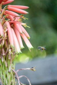 bee collecting Honey Photography