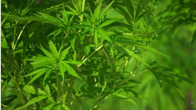 cannabis YouTube 缩略图 template