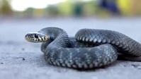 Dangerous black cobra snake on road video template