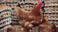 Egg and chicken YouTube 缩略图 template