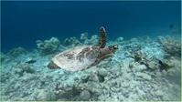 Floating turtle Miniatura di YouTube template