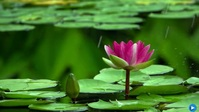 pink lotus flower in pond video Miniature YouTube template
