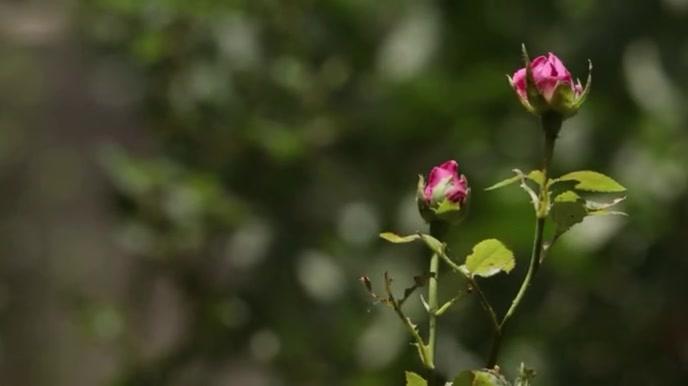 Pink Rose Ecrã digital (16:9) template