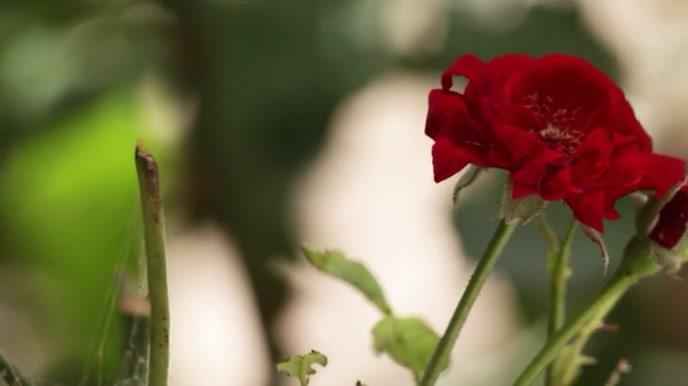 Red Rose Digitale display (16:9) template