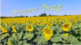 Summer Breeze Sunflowers Field Video