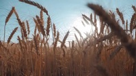 Wheat grain farming video YouTube Thumbnail template