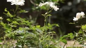 White Rose Ekran reklamowy (16:9) template