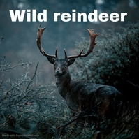 Wild reindeer in the forest Copertina album template