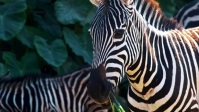 Zebra Crossing video Miniatura di YouTube template